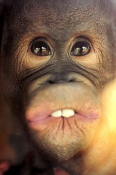 "Great picture for the Christmas song ""All I want for Christmas is my Two Front Teeth"" Hiroshi, the Orangutan Orphan"