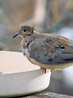 Mourning Dove Fledgling / Out on his own. - by S.Dorman