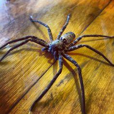 Pretty big arachnid.