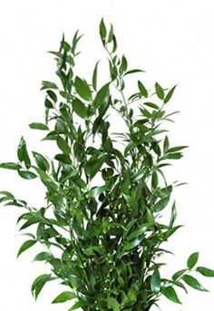 super tall 90-100cm Ruscus $9.65 per bunch - could use for greenery touches on chandeliers and poles