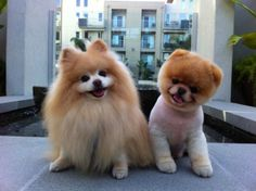 Pomeranian full coat, and shaven