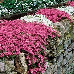 grows anywhere, even in poor, dry, sandy soil where other ground covers fail, spreads so lavishly- needs little attention and flowers profusely. Zones: Light: Full Sun to Full Partial Shade Phlox Perennial, Perennials, Outdoor Plants, Outdoor Gardens, Shade Garden, Garden Plants, Creeping Phlox, Spring Hill Nursery, Ground Cover Plants