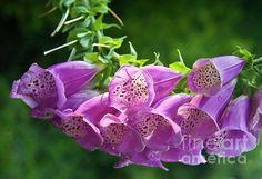 Pink Flowers in Monet Gardens Loriannah-Hespe.artistwebsites.com