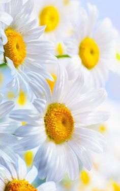 the simple beauty of daisies