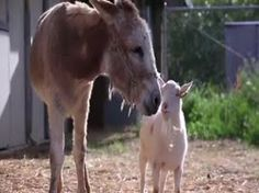 Mr. G the goat reunites with his best friend Jellybean the burro.  You will love this story!