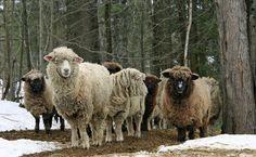 Romney Sheep, Baa Baa Black Sheep, Needle Felting Kits, Mobile Shop, Cute Cats, Goats, Cute Babies, Wool, Hopelessly Devoted