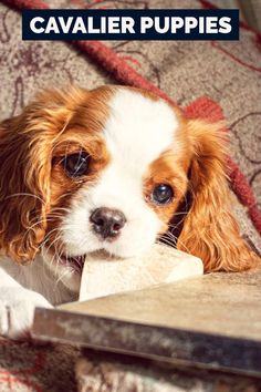 While the Cavalier King Charles Spaniel wasn't the first breed to be reproduced as a companion canine, it was the first to be bred especially as an interior canine. The cavalier was just bred for little rooms after it was noticed that its short layer shed too a lot when it was allowed to run around in the outdoors. Tips About How To Train Your Pet Dog Successfully Possessing a dog while residing in a condo can be quite a challenge. Training your pet dog for this type of living is crucial f