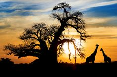 Sunset over the African Savanna