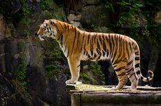 Tiger by Electrokopf.deviantart.com on @deviantART
