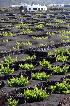 vineyards on volcanic ground, La Geria, Lanzarote Portugal Vacation, Majorca, Famous Places, Canario, Canary Islands, Spain Travel, Champs, Wonders Of The World, Places To See
