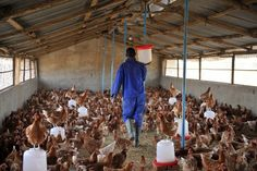 Make Money, Poultry Farming Business Opportunities, Start Your Very Own Poultry Business, Open Your Very Own Chicken Farming Business, We Can Help You Poultry Business, Starting A Coffee Shop, Farm Plans, Portable Chicken Coop, Pet Chickens, Country Farm, Poultry Farming, Poultry Cage, Poultry House