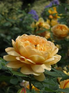'Golden Celebration' |  David Austin English Rose. Austin, 1992. | Flickr - @ Susan Rushton