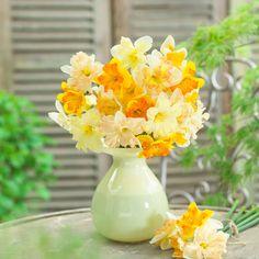 Narcissus split corona - such a pretty, full daffodil!