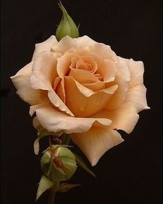 Beautiful Rose Flowers, Exotic Flowers, Amazing Flowers, Beautiful Flowers, Art Floral, Rose Fotografie, Rose Reference, Rose Flower Tattoos, Rose Photography