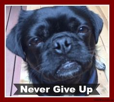 "Kilo the Pug says ""Never Give Up"""