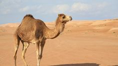 hd camel wallpapers