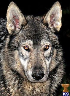 Gorgeous, independent, loyal, protective and very smart-wolf/orkwolf,german-shepherd