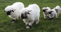 Northumberland farmer welcomes unseasonal arrivals as 'worlds cutest lambs' are born - Chronicle Live Cute Sheep, Sheep Farm, Sheep And Lamb, Valais Blacknose Sheep, Sheep House, Baby Animals, Cute Animals, Wild Animals, Cute Lamb