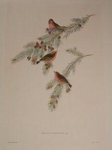 """song birds - 4italian contemp hand coloured engraving 14 x 21"""" $210"""