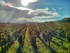 Mittagssonne bei der BioWeinlese im Burgund, Domaine Chapelle.  Alle BioWeine von Chapelle finden Sie hier: http://www.bioweinreich.com/shop/BioWeine/Nach_Weingut/Domaine_Chapelle