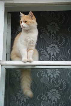 Gato na janela espiando