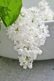 ÅH! som jeg lengter etter litt varme og at det skal blomstre i hvitt....i fjor på denne tiden var nemlig blomstringen godt i gang av so...