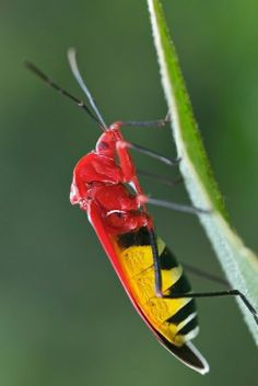˚Red and yellow aposematic cotton stainer bug (Pyrrhocoridae?) Madagascar by pbertner @ Flickr
