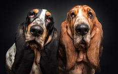 Télécharger fonds d'écran Les bassets pour Chien, de la famille, des animaux mignons, amitié, animaux familiers, les chiens, les Bassets