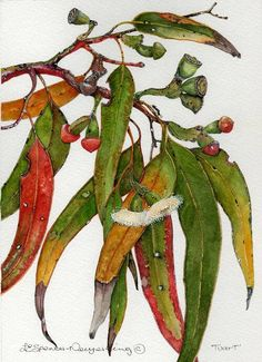 Eucalyptus gomphocephala aka Tuart