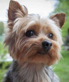 10 Cool Facts About Yorkshire Terriers & Dogs . The post Yorkshire Terriers: 10 Yorkie Facts You Didn& Know appeared first on Dogs and Diana. Yorkshire Terriers, Yorkshire Terrier Haircut, Yorkshire Dog, Yorky Terrier, Terrier Dogs, Yorkie Haircuts, Top Dog Breeds, Rottweiler Puppies, Poodle Puppies