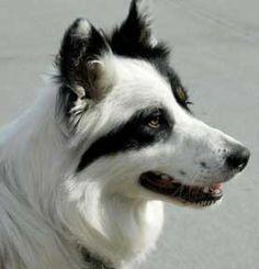 border collie couleur blanche à tête avec une face fendue incroyable! s'il vous plaît cloner votre chien pour moi!