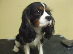 king charles cavalier - Google Search