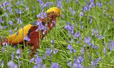 A golden pheasant walks among bluebells at Kew Gardens in west London.
