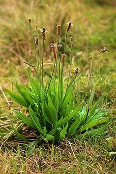 Jitrocel: Bylina, která účinně léčí onemocnění dýchacích cest - www. Plant Fungus, Insect Bites, Wound Healing, Medicinal Plants, Fungi, Vegetable Garden, Health And Beauty, Life Is Good, Herbalism