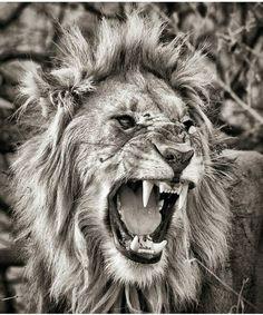 Best tattoo lion head big cats ideas – best tattoo lion head big cats … – Bes… - Gave Ideer Beautiful Cats, Animals Beautiful, Big Cats, Cool Cats, Lion Sketch, Lion Photography, Tattoo Schwarz, Gato Grande, Lion Drawing