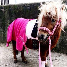 Langzügelarbeit im Gelände  #Langzügel #minishetty #shetty #horse #pinklady #trense #pink #rosa #pferde #cute #zirkuslektionen #pony  #love by minishetty_luna