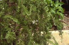 Which 26 flowers and plants to grow that keep away mosquitos Prostrate Rosemary