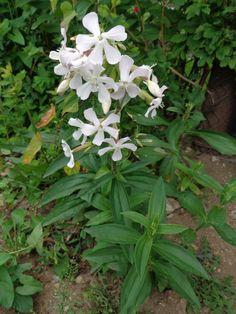 Saponaria officinalis 05 - Mydlnica lekarska – Wikipedia, wolna encyklopedia Clean And Delicious, Eco Friendly Bags, Foto Art, Roots, Organic, Healthy, Plants, Etsy, Packing