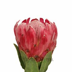 Queen Protea Flower a luxurious tropical flower that sports fuzzy pink petals and a black tipped center.Exotic and jaw dropping, this bloom would be perfectly decorating the tables of a birthday party or tropical wedding.A member of one of the oldest families of flowers on earth, protea...