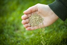 Types Of Grass, Grass Type, Growing Grass, Growing Seeds, Best Grass Seed, Planting Grass Seed, Bermuda Grass, Lawn Care Tips, Lawn Maintenance