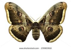 Moth Stock Photos, Royalty-Free Images & Vectors - Shutterstock
