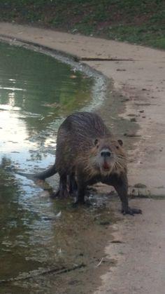 Nutria - river rat