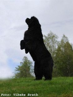 Vanilla is her name, most powerful picture of a Newfie ever :-) #NewfoundlandDog