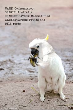 Photoshop Design by A Colas Adcock#photoshop #montage #australianoutback #cockatoo #mammal # kangaroo #weird #bizzare #designcrowd