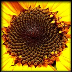The spiral pattern at the center of a sunflower has a mathematical foundation.