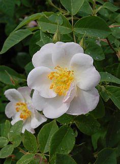 Rosa 'Dupontii', 1817