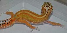 Red Stripe Project, TS Geckos--UK