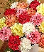 Carnations are one of my mother favorite flowers. She would rather get a bouquet of Carnations than Roses Amazing Flowers, My Flower, Flower Power, Beautiful Flowers, Flower Colors, Flower Food, Colorful Flowers, January Birth Flowers, January Flower