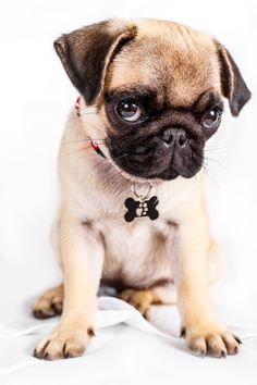 Zoe the Pug - ©Mirco Peverati (via 500px) More