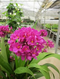 New Patio and Garden Orchid from Hort Couture. Thrive in full sun and blooms all summer. Great new addition to any combination